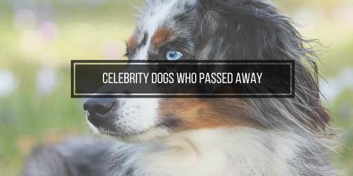 australian shepherd, a dead celebrity dog now
